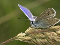 commonblue